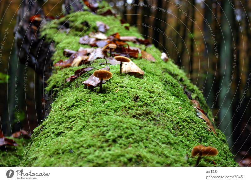 Pilz auf Moosbaum Baum grün Wald Herbst