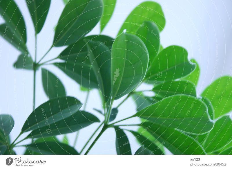 Zimmerpflanze grün Pflanze Blatt hell Grünpflanze Topfpflanze