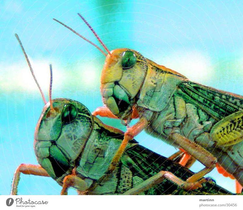 heuschrecken hoppers Tier Heuschrecke 2 Verkehr Makroaufnahme Farbe Natur