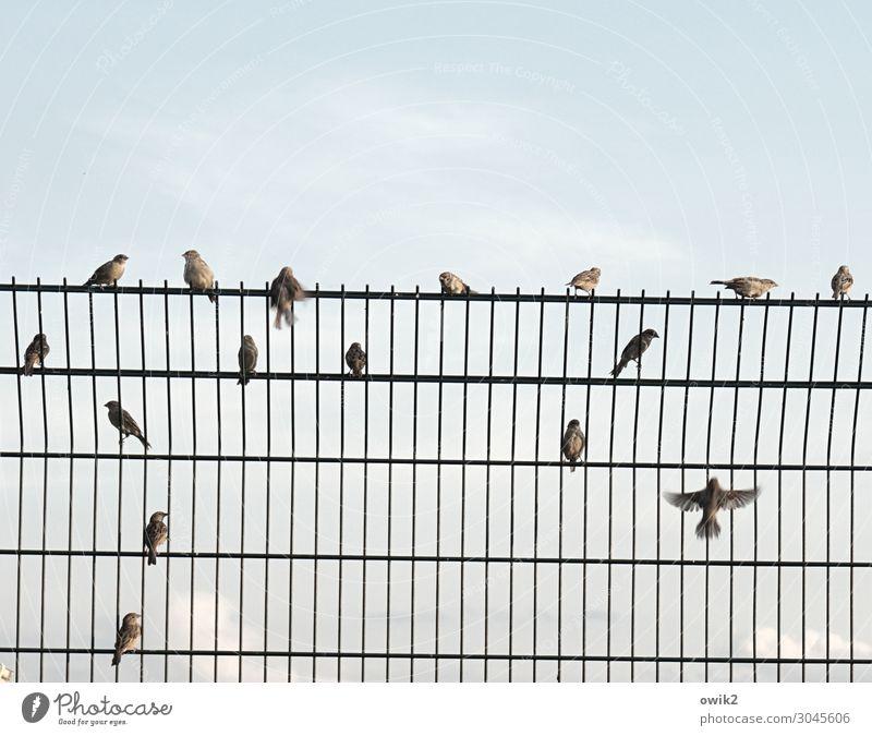 Selbsthilfegruppe Himmel Wolken Schönes Wetter Spatz Schwarm Barriere Metallzaun hoch Sicherheit Schutz beobachten Bewegung sprechen fliegen hocken