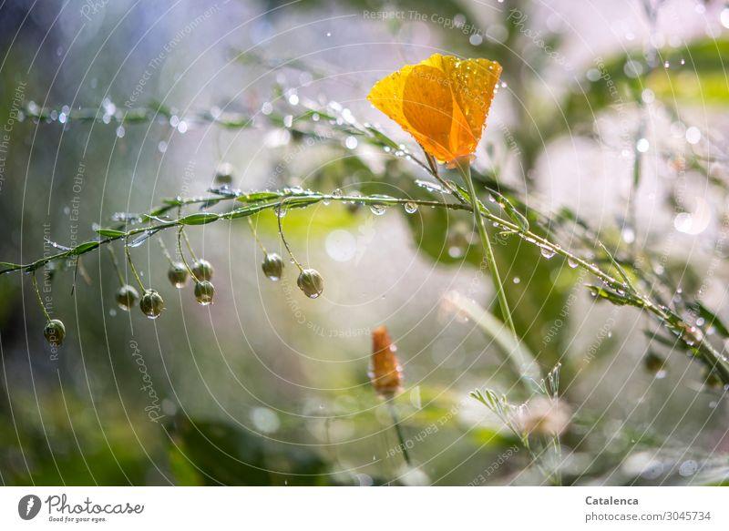 Es regnet heute Natur Pflanze Wassertropfen Sommer Klima schlechtes Wetter Regen Blume Blatt Blüte Nutzpflanze Wildpflanze Mohnblüte Lein Leinsamen