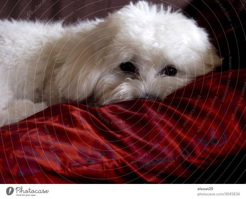 Bichon maltesische Ruhezeit Glück schön Natur Tier Haustier Hund Liebe sitzen klein niedlich weiß reizvoll züchten heimisch pelzig Behaarung Säugetier