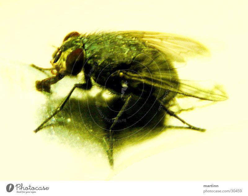 Die Fliege Tier Insekt Verkehr Natur Makroaufnahme Detailaufnahme