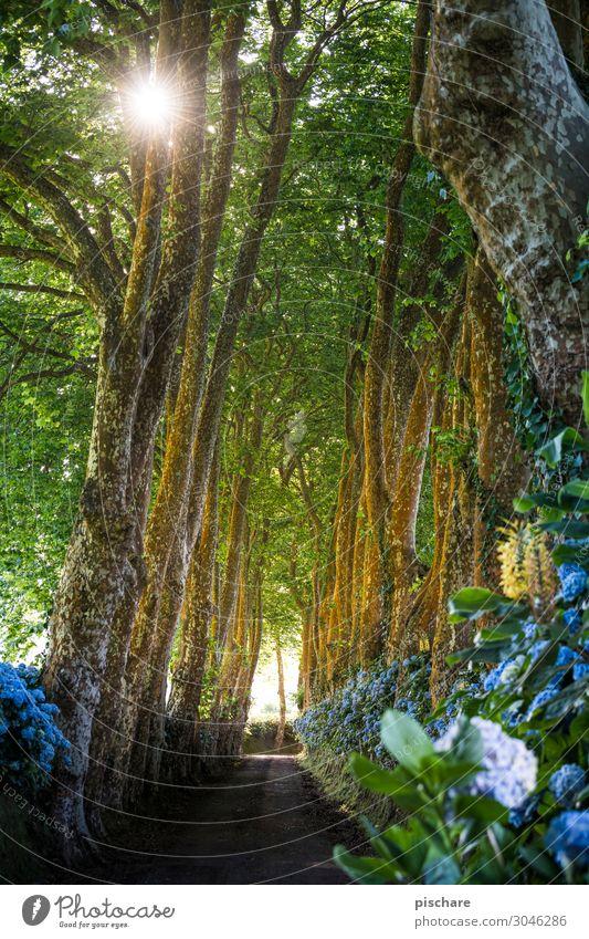 Allee Sonne Schönes Wetter Baum Wald Straße schön Idylle Natur Azoren Hortensie Farbfoto Außenaufnahme Morgen Licht Sonnenlicht Sonnenstrahlen