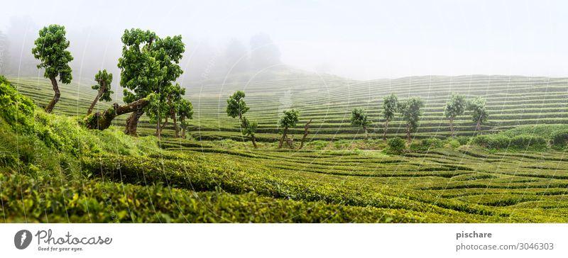 Tee Natur Landschaft Nebel Grünpflanze Garten Park natürlich grün Teeplantage Teepflanze Azoren Farbfoto Außenaufnahme Tag Panorama (Aussicht)