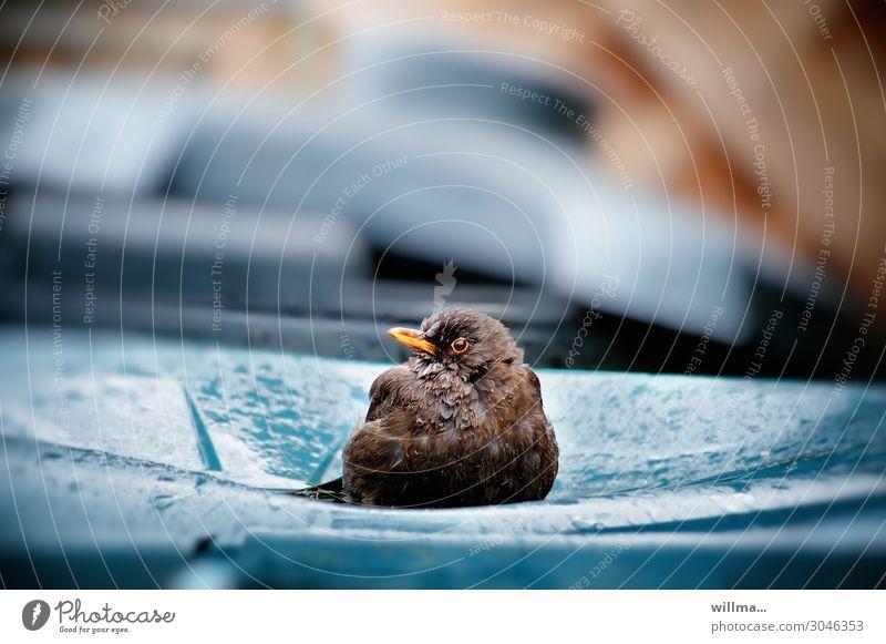 der müllkontrolleur Einsamkeit Vogel Regen sitzen nass beobachten Regenwasser Wachsamkeit Müll Umweltschutz Kontrolle Müllbehälter Amsel Müllverwertung