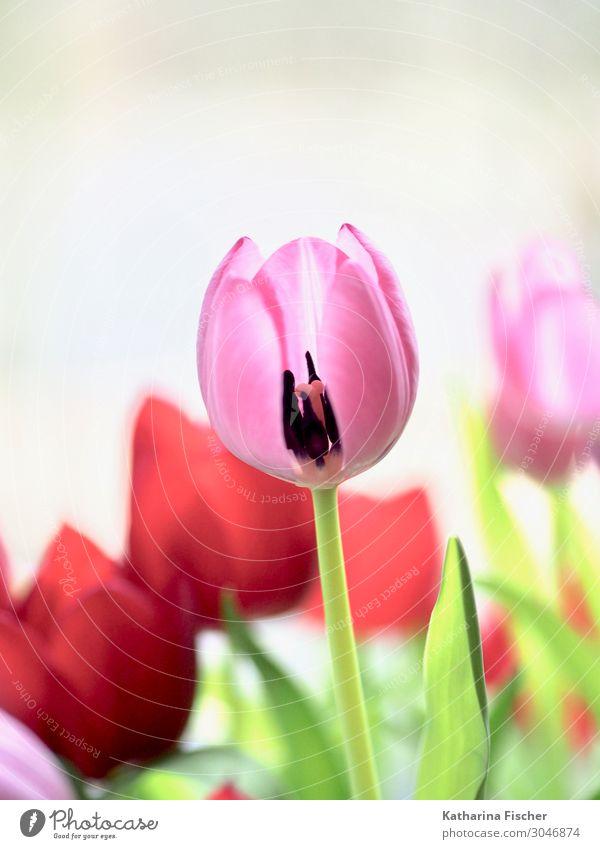 Tulpe rosa rot Pflanze Frühling Sommer Herbst Blume Blumenstrauß Blühend Fröhlichkeit grün weiß Tulpenblüte Tulpenknospe Dekoration & Verzierung Farbfoto