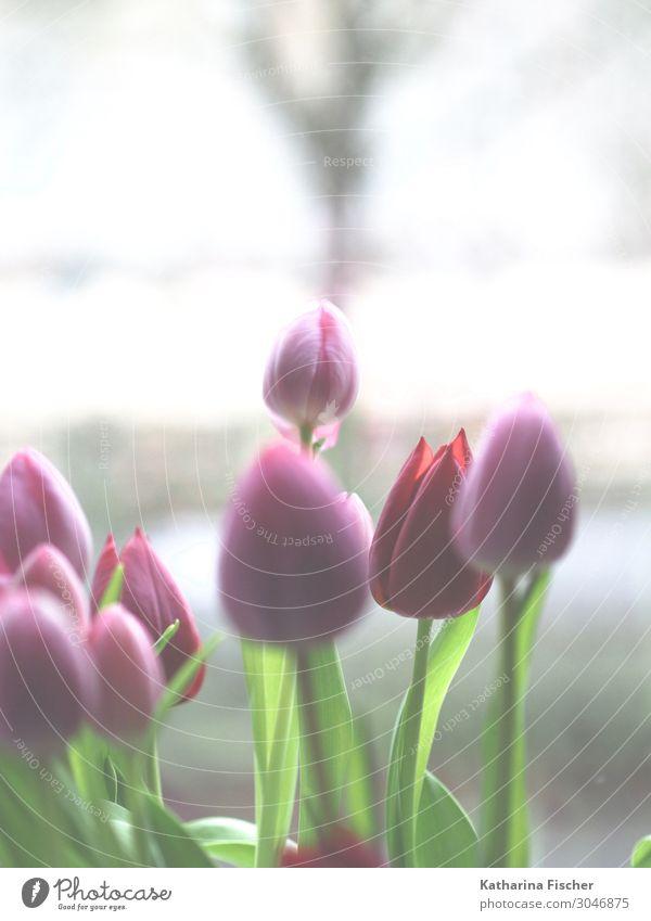 Tulpen rosa rot Natur Pflanze Frühling Sommer Herbst Blume Blumenstrauß Blühend leuchten grün weiß Tulpenknospe Farbfoto Innenaufnahme Menschenleer Tag