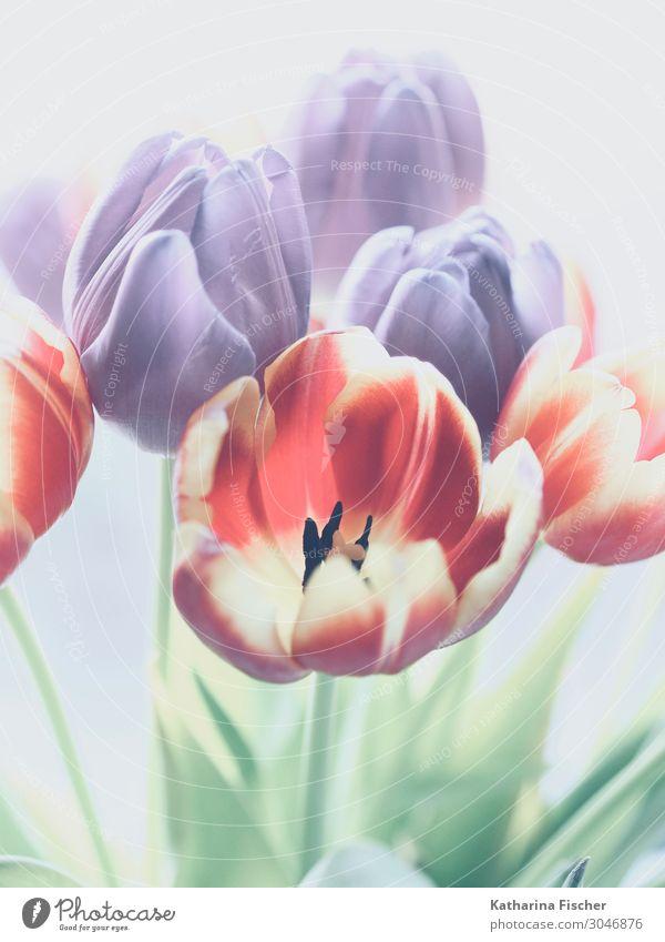 Tulpen rot gelb orange lila Natur Pflanze Frühling Sommer Herbst Winter Blume Blatt Blüte Blumenstrauß Blühend leuchten grün violett rosa türkis weiß