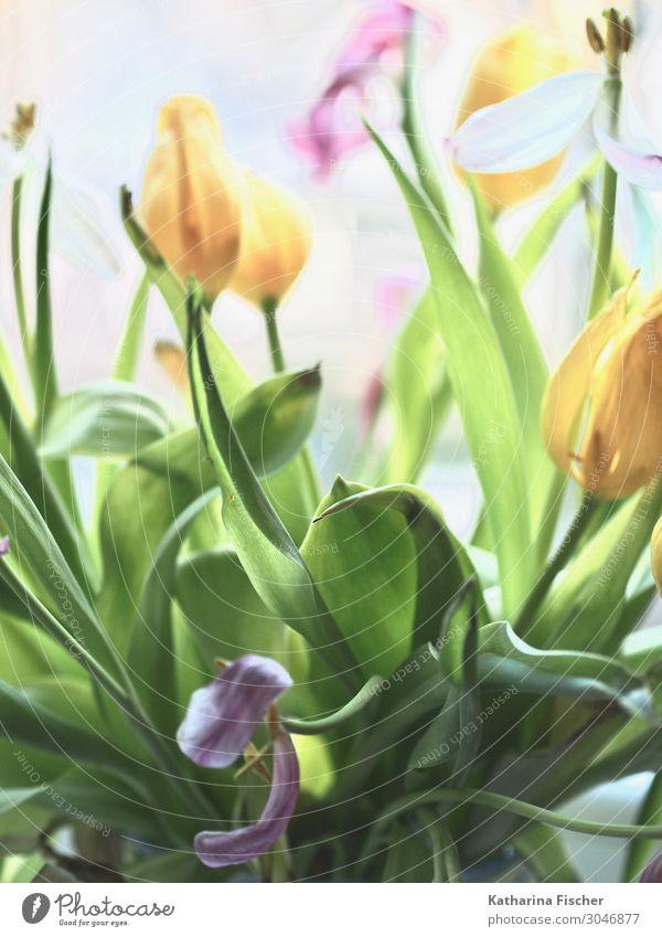 Tulpen Blumenstrauß Natur Pflanze Frühling Sommer Herbst Blühend leuchten gelb grün violett rosa weiß malerisch Dekoration & Verzierung Tulpenknospe Farbfoto