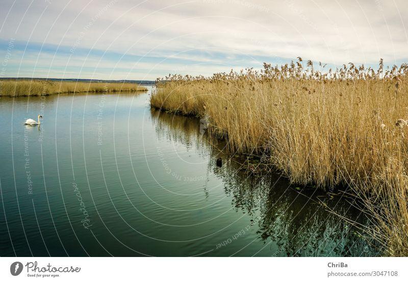 Einsamer Schwan Natur Landschaft Pflanze Tier Wasser Himmel Wolken Horizont Frühling Winter Wildpflanze Riedgras Seeufer Bucht Moor Sumpf Federsee Wildtier 1