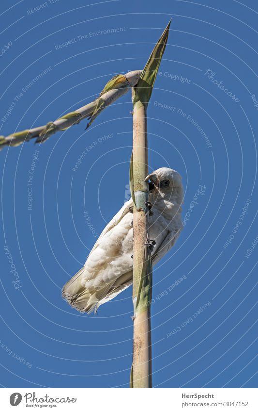 Kakaich oder Kakadu Umwelt Natur Himmel Wolkenloser Himmel Sommer Schönes Wetter Pflanze Grünpflanze Tier Wildtier Vogel Tiergesicht Flügel 1 Freundlichkeit