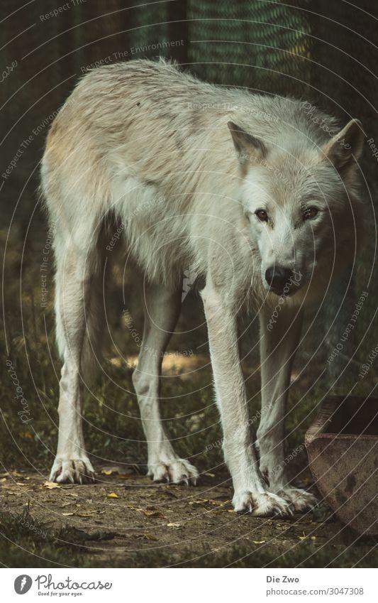 Wolf Tier Erde Wildtier 1 Aggression natürlich Gefühle Tierliebe ruhig Stolz Interesse beobachten Farbfoto Gedeckte Farben Außenaufnahme Menschenleer Dämmerung