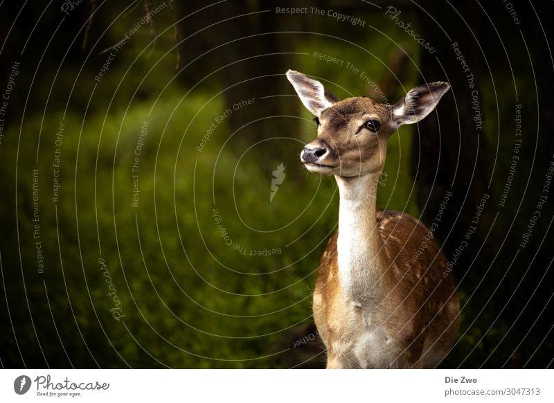 Bambi Natur Tier Wildtier Zoo Reh 1 Gefühle Euphorie Tapferkeit Willensstärke Vertrauen Geborgenheit Sympathie Tierliebe klug Wald Farbfoto Außenaufnahme