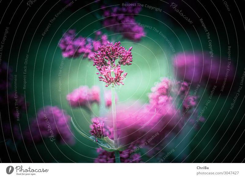 Im Garten Natur Pflanze Sommer Blume Blüte Grünpflanze Wildpflanze rosa Stimmung Gelassenheit ruhig träumen Sehnsucht Ewigkeit Farbe Lebensfreude Umwelt
