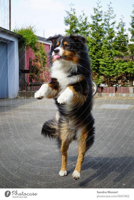 Ätsch! Tier Hund 1 Spielen springen Tanzen Freude Collie Farbfoto Außenaufnahme Menschenleer Tag Bewegungsunschärfe Zentralperspektive Ganzkörperaufnahme