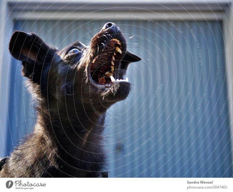 Fang das Leckerli Tier Haustier Hund 1 fangen füttern genießen positiv rebellisch wild Treue Völlerei gefräßig Hemmungslosigkeit Leckerchen Futter Gebiss Zähne