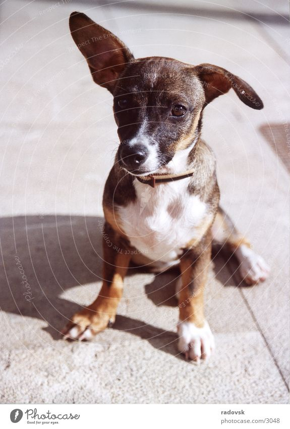Schlappohr Hund Treue Schnauze klein Ohr