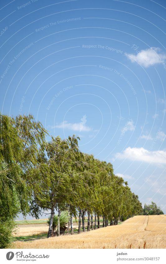 vom sommer. Allee Feld Kornfeld Getreidefeld Birken Sommer Landwirtschaft Natur Nutzpflanze Ähren Ackerbau Ernährung Pflanze Außenaufnahme Menschenleer Wachstum