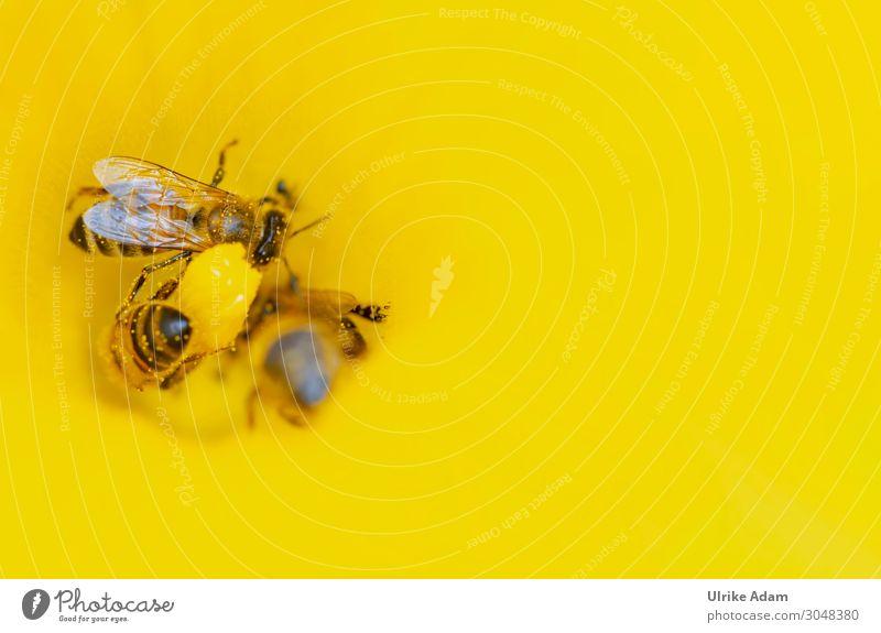 Bienen bei der Arbeit - Pollenaufnahme in der gelben Blüte Insekt Tier Nektar Flügel Honigbiene Makroaufnahme sorgsam Sommer Blume Garten Natur Menschenleer