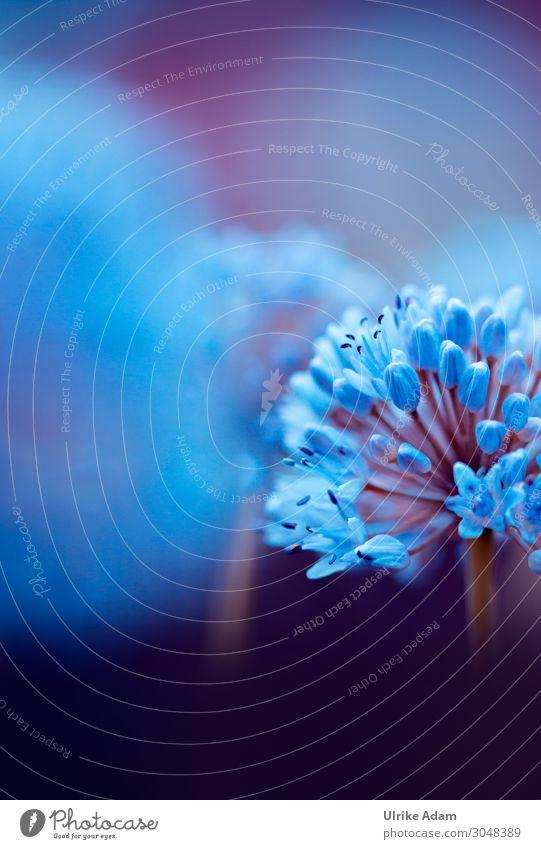 Blüte des Zierlauch ( Allium ) Blume Natur Garten Außenaufnahme Nahaufnahme schön Frühling Makroaufnahme Schwache Tiefenschärfe Blühend Pflanze Unschärfe