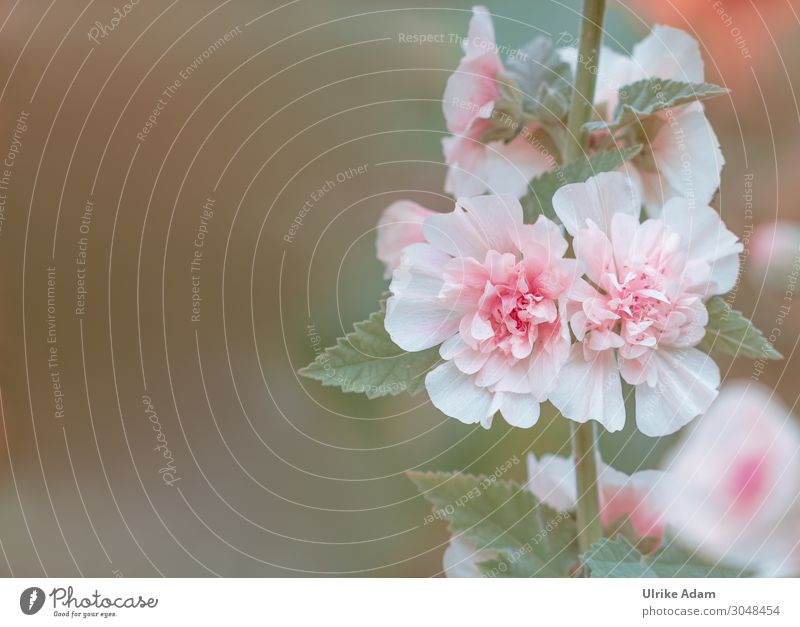 Stockrose Design Wellness Leben harmonisch Wohlgefühl Erholung ruhig Meditation Spa Tapete Feste & Feiern Natur Pflanze Sommer Blume Blüte Malvengewächse Garten