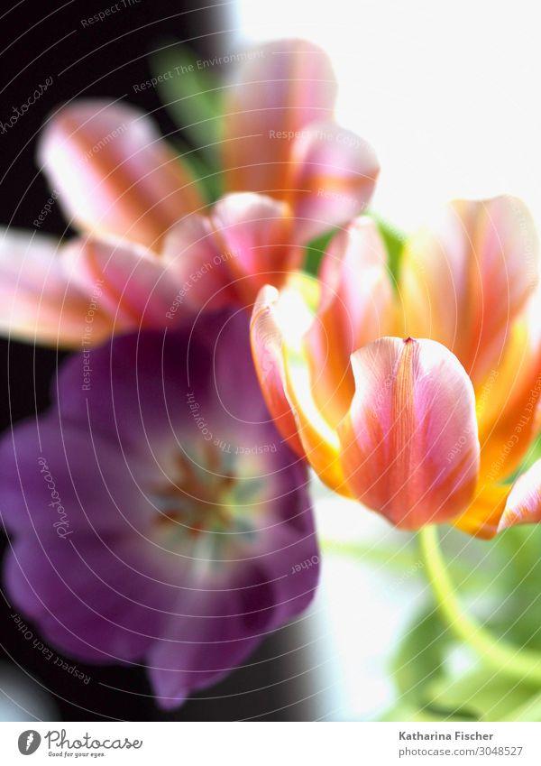 Tulpen orange lila gelb Pflanze Frühling Sommer Herbst Winter Blume Blatt Blüte Blumenstrauß Blühend leuchten Fröhlichkeit schön grün violett rosa rot türkis