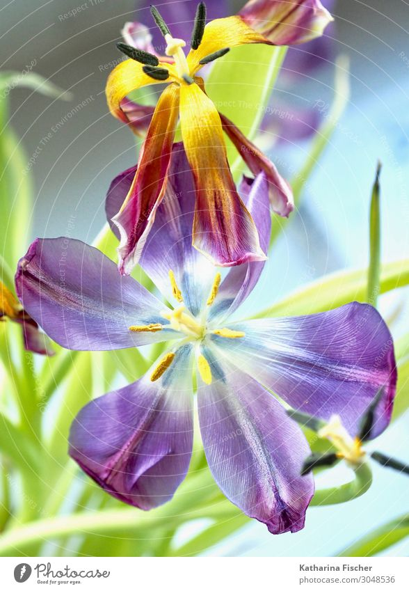 Tulpen lila Pflanze Frühling Sommer Herbst Winter Blume Blatt Blüte Blumenstrauß Blühend leuchten verblüht gelb grün violett orange rosa rot türkis weiß