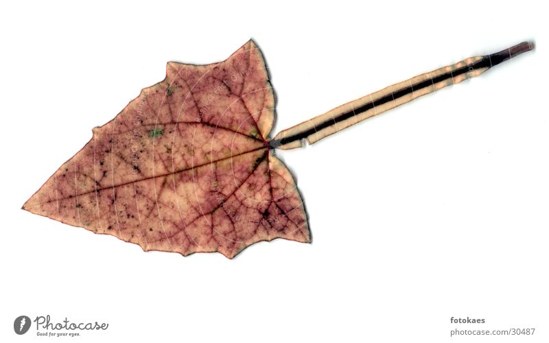 Blatt Natur braun Stengel Gefäße