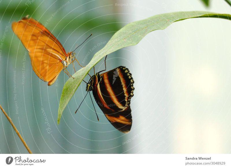 Schmetterlinge II Umwelt Natur Pflanze Tier Sommer Klima Klimawandel exotisch Urwald Alpen Zoo 2 hängen hocken orange schwarz Farbfoto Menschenleer Tag