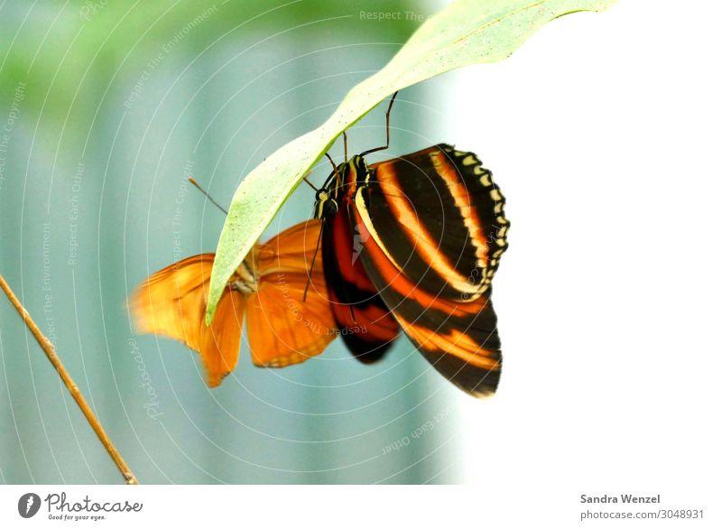 Schmetterlinge Umwelt Natur Pflanze Tier Sommer Klima Klimawandel Garten Park Wiese 2 Fressen exotisch orange tropisch Urwald schön Farbfoto Außenaufnahme