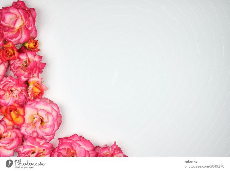 blühende rosa Rosen sind geschlüpft Ecke schön Sommer Dekoration & Verzierung Feste & Feiern Hochzeit Natur Pflanze Blume Blüte Blumenstrauß Blühend Liebe