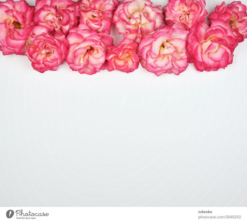 blühende Knospen von rosa Rosen auf weißem Hintergrund Lifestyle Sommer Dekoration & Verzierung Feste & Feiern Valentinstag Muttertag Hochzeit Geburtstag Natur