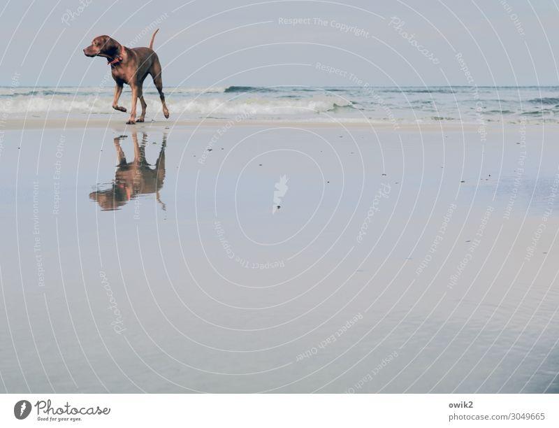 Diva Umwelt Natur Landschaft Tier Sand Luft Wasser Himmel Horizont Schönes Wetter Wellen Küste Strand Ostsee Hund 1 beobachten Bewegung laufen Blick frei