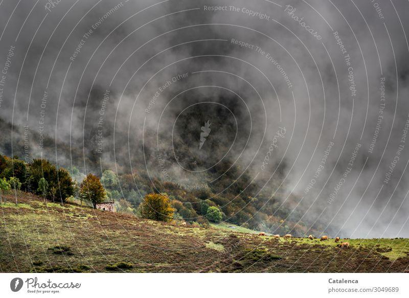 Nebel Berge u. Gebirge wandern Natur Landschaft Pflanze Wolken Sommer schlechtes Wetter Baum Gras Sträucher Wiese Feld Hütte Kuhherde Tiergruppe Stein alt