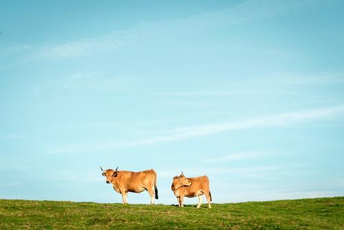 Zwei Kühe Landschaft Pflanze Tier Himmel Wolkenloser Himmel Sommer Schönes Wetter Gras Wiese Weide Steppe Pampa Nutztier Kuh 2 beobachten genießen stehen