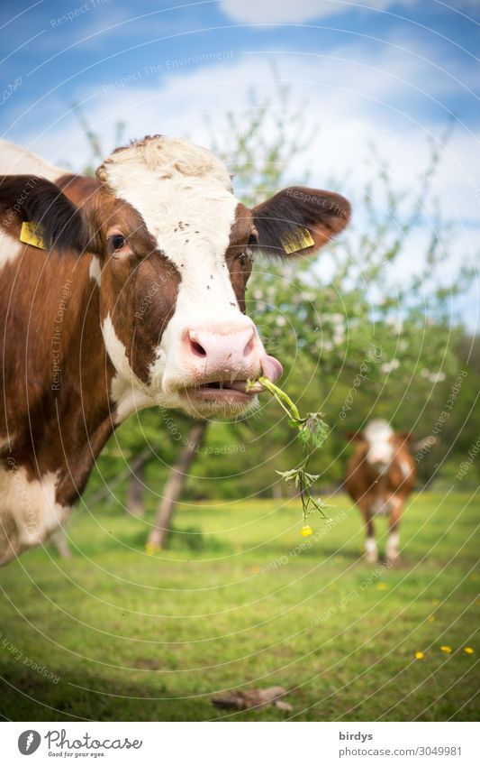 glückliche Kühe Landwirtschaft Forstwirtschaft Himmel Sommer Schönes Wetter Baum Blume Wiese Weide Nutztier Kuh 2 Tier beobachten Fressen authentisch