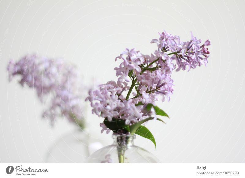 hier riechts doch nach ... | Flieder Fliederblüte Pflanze Natur Farbfoto Nahaufnahme Blüte violett Menschenleer Blühend Garten Detailaufnahme lila grün Vase
