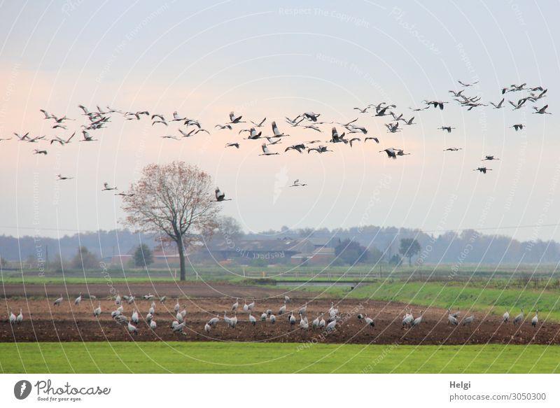 Kraniche in der Diepholzer Moorniederung Himmel Natur Pflanze blau grün Landschaft Baum Tier Leben Herbst Umwelt natürlich Gras außergewöhnlich Freiheit Vogel