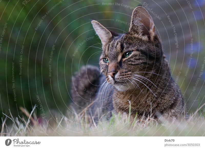 Entspannt, aber wachsam - Tigerkatze im Garten Häusliches Leben Sommer Schönes Wetter Pflanze Gras Sträucher Wiese Tier Haustier Katze Tigerfellmuster