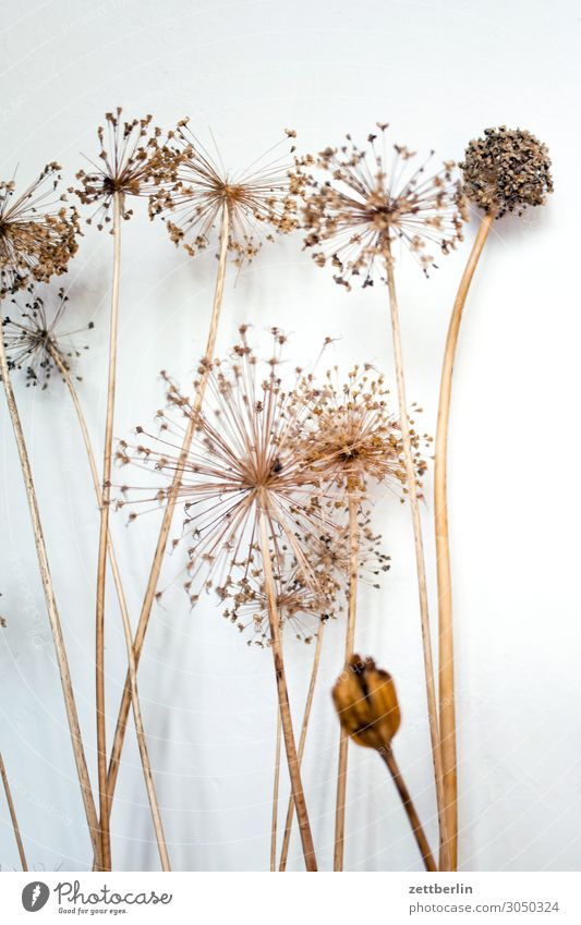 Getrocknete Dolden Blume Blüte Trockenblume getrocknet vertrocknet reif Gras Menschenleer Natur Pflanze Textfreiraum Tiefenschärfe Zweig Doldenblüte