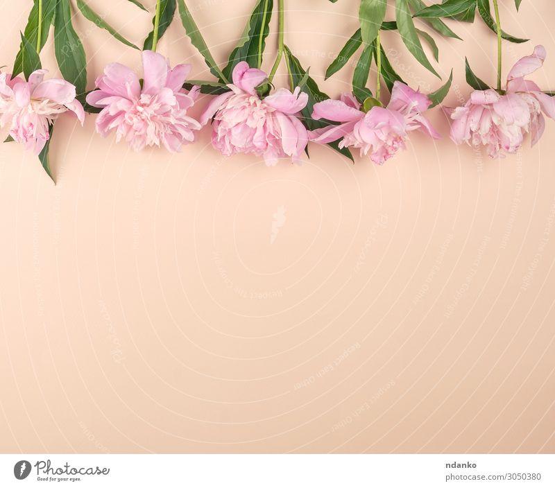 blühende rosa Pfingstrosenknospen auf Pfirsichgrund Design schön Sommer Dekoration & Verzierung Feste & Feiern Muttertag Ostern Hochzeit Geburtstag Natur