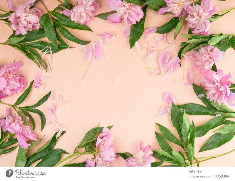 blühende rosa Pfingstrosenknospen auf Pfirsichgrund Design schön Sommer Dekoration & Verzierung Feste & Feiern Valentinstag Muttertag Hochzeit Geburtstag Natur