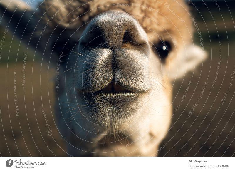 Immer neugierig sein Tier Nutztier Tiergesicht 1 Neugier niedlich gold Glück Fröhlichkeit Zufriedenheit Coolness Tierliebe Alpaka Farbfoto Außenaufnahme