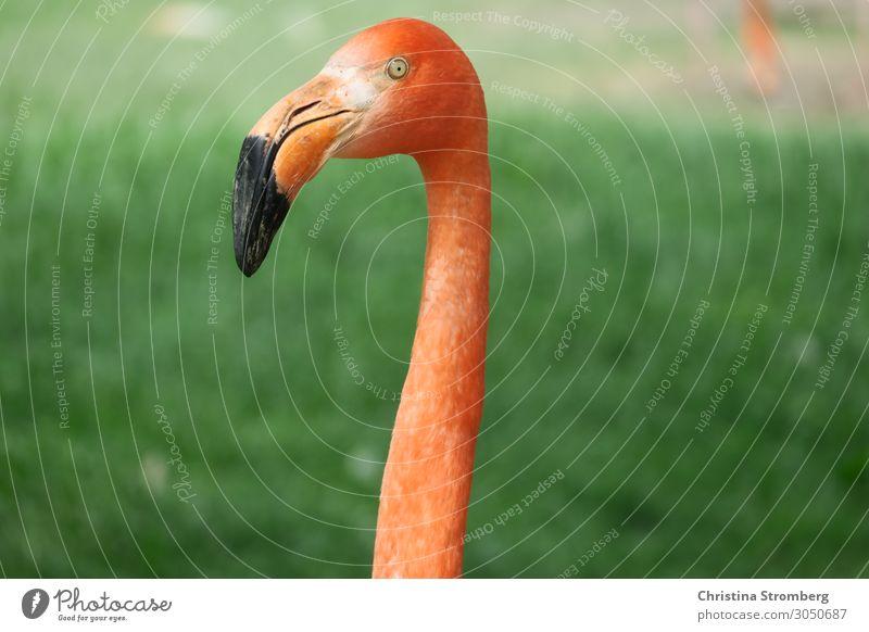 Flamingo Tier rosa Vogel Farbfoto Wildtier Natur Zoo Schnabel exotisch Hals Tierporträt Tiergesicht Blick schön beobachten orange wild Blick in die Kamera Tag