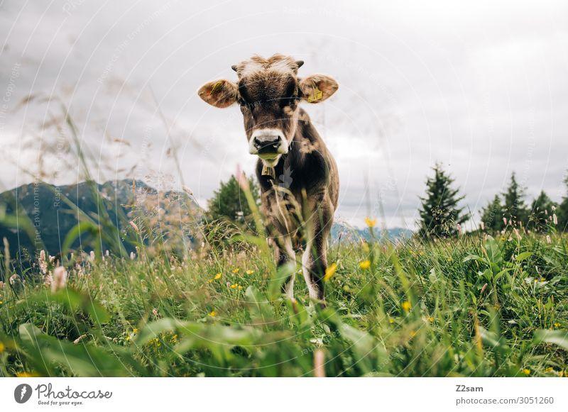 Junges Kalb auf der Alm Ferien & Urlaub & Reisen Natur Sommer grün Landschaft Blume Erholung Berge u. Gebirge Gesundheit Umwelt Wiese Idylle stehen Perspektive