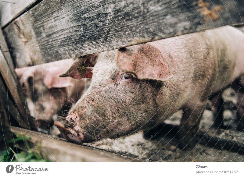 Almschwein Natur Alpen Nutztier Schwein füttern Blick stehen Gesundheit Glück nachhaltig natürlich Zufriedenheit ruhig Stall Zaun Gehege Fressen Holzzaun