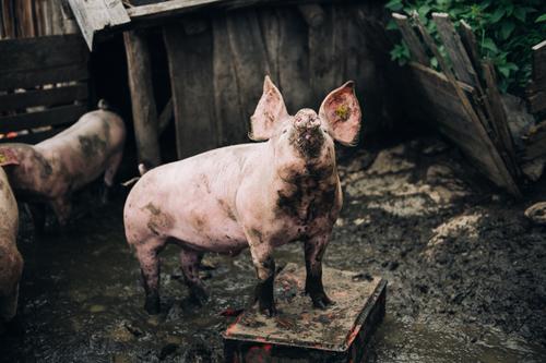 Schwein gehabt Lebensmittel Fleisch Natur Dorf Stall Gehege Nutztier Schweinefleisch Viehzucht artgerecht Tiergruppe authentisch frech Gesundheit Glück