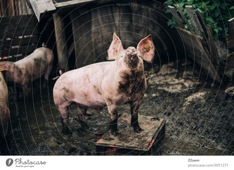Schwein gehabt Natur Gesundheit Lebensmittel natürlich Glück Gesundheitswesen rosa Zufriedenheit Idylle Tiergruppe Lebensfreude authentisch Neugier Dorf