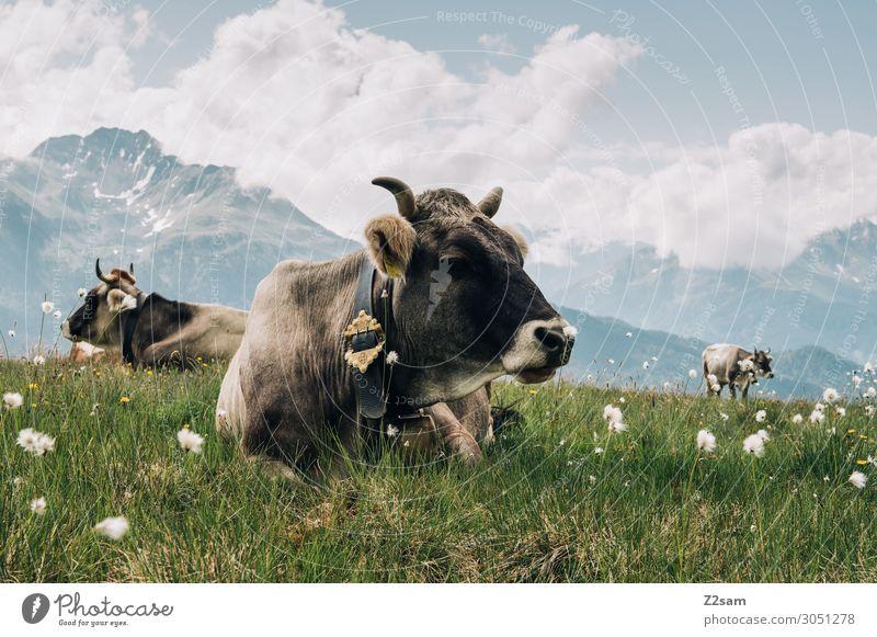 Kühe auf der Almwiese am Gipfel Natur Landschaft Wolken Sommer Schönes Wetter Blume Wiese Alpen Berge u. Gebirge Nutztier Kuh Erholung liegen nachhaltig